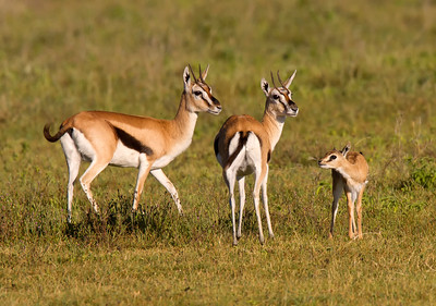 Female Thomson's gazelle with fawn