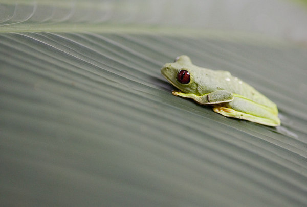 Red Eyed Tree Frog Costa Rica Central America Jungle 6881