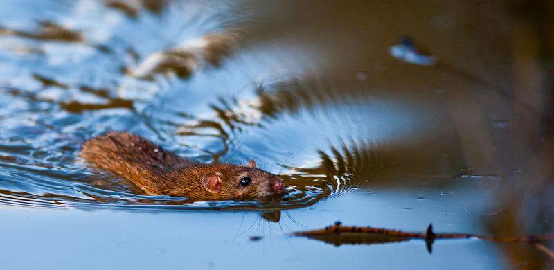 Brown Rat Swimming -3