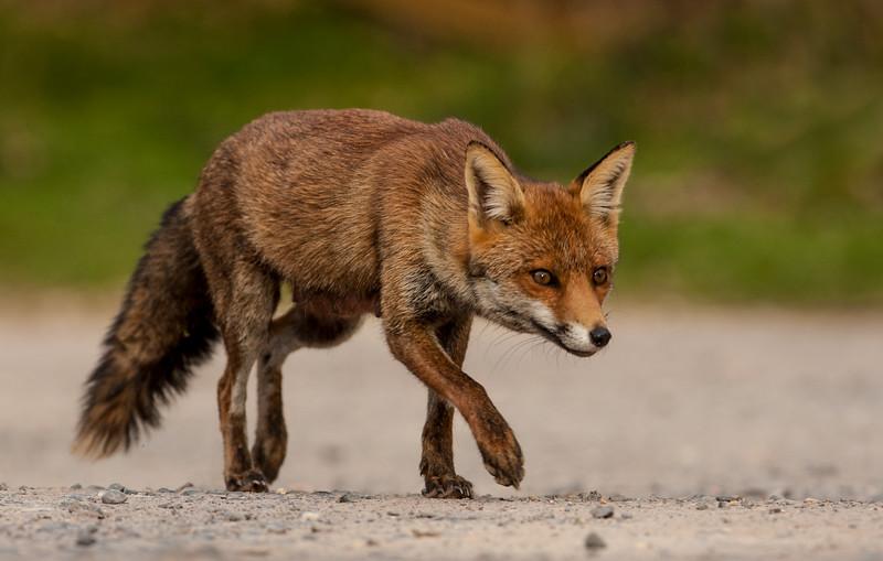 Red Fox -6