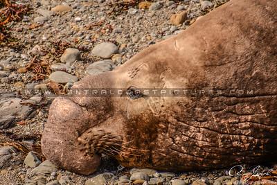San simeon sealion elephant seal-CCP-3605