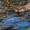 Otter -13