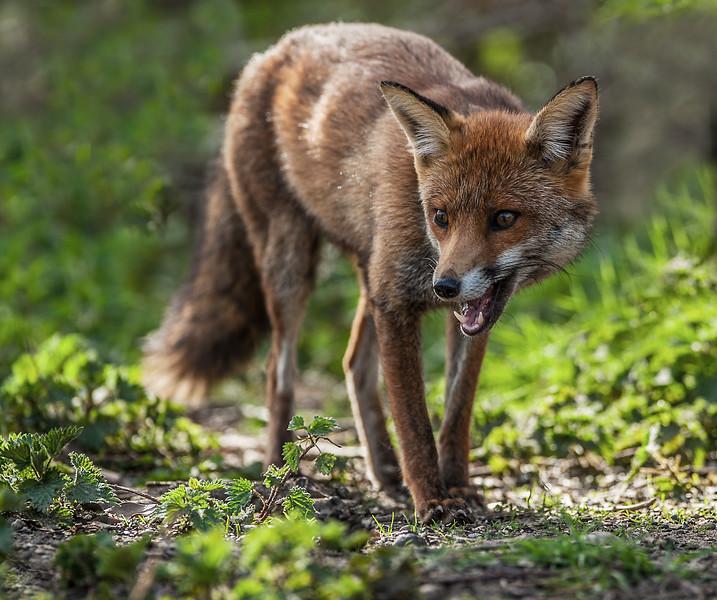 Red Fox -2