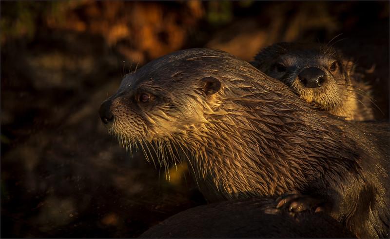 Otter  -17