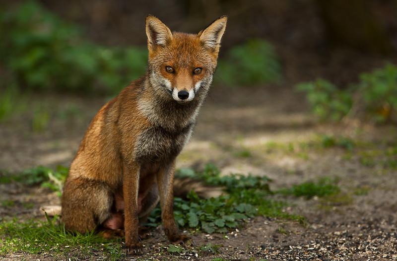 Red Fox -4