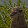 Otter - 11