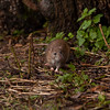 brown Rat  -1