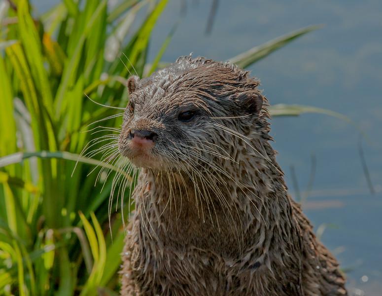 Otter - 10