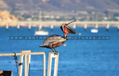 avila-pelican_1203