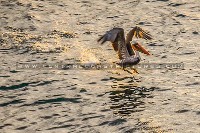 big sur-pelican-3830