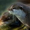 Otter - 1