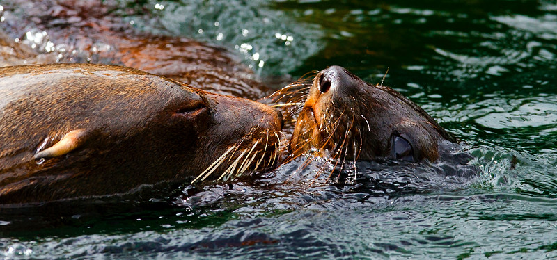 Sealion  and  Young  -2