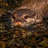 Otter -14