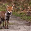Red Fox -8