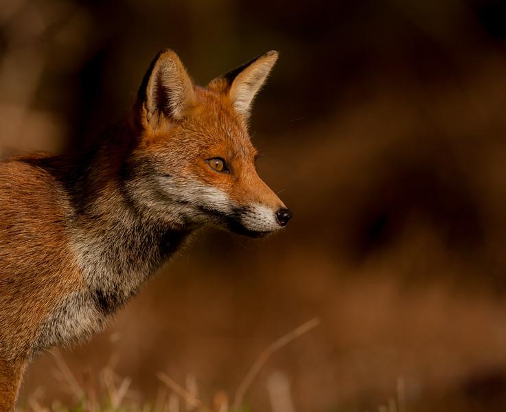 Red Fox -5