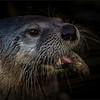 Otter -15