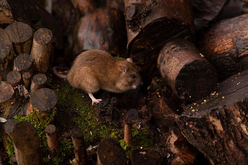 Brown Rat -2