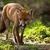 Red Fox -3