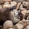 Otter playing with a stone .