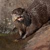 Otter - 3