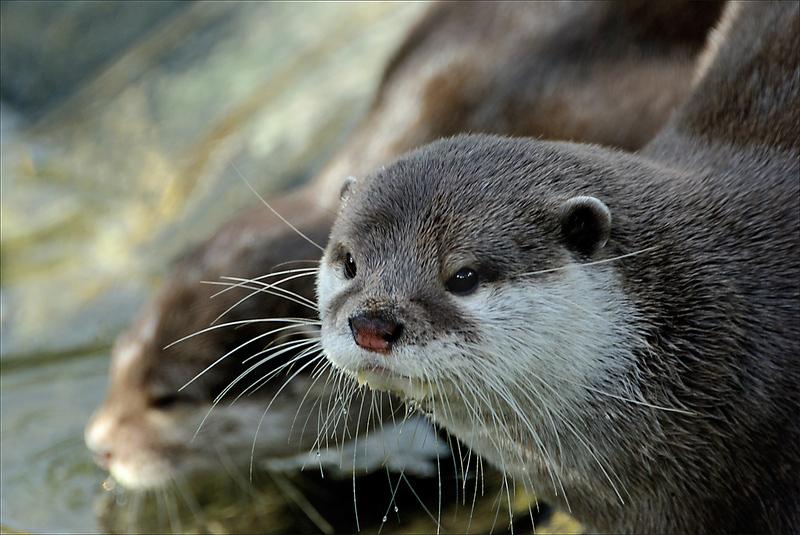 Otter - 2
