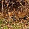 Red Fox -7