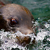 Young  sealion