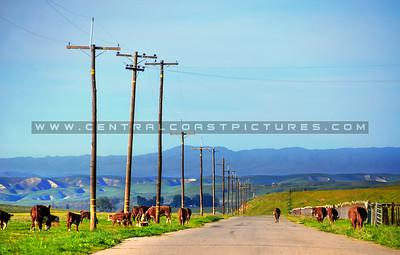 cows_8378