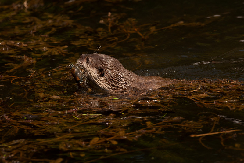 Otter with crayfish