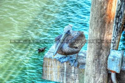 avila-pelican_0004