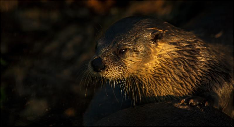 Otter -16