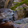 Otter -8