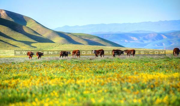 cows_8403