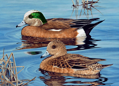 Midday Calm -- American Wigeons