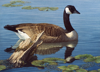September Light -- Canada Goose