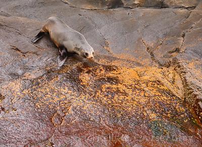 tasman nz fur seals 11