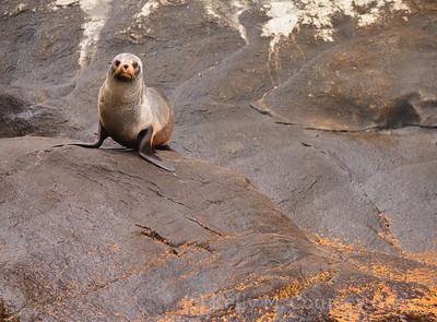 tasman nz fur seal 2