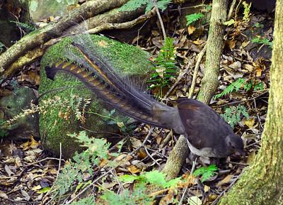 lyrebird 4
