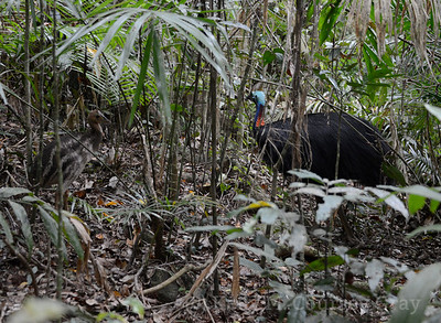 father and baby cassowary 1