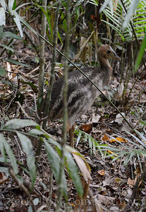baby cassowary 3