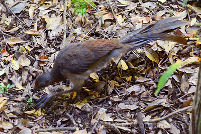 lyrebird female 1