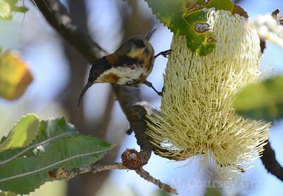 nectar bird 2