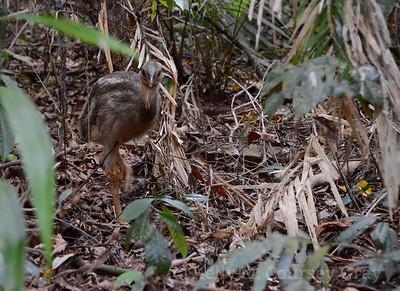 baby cassowary 1