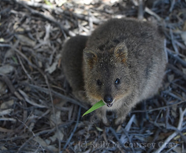 Mom and baby quokka 2