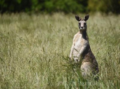 kangaroo in grass 1