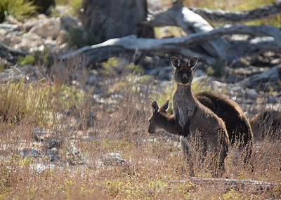 KI Kangaroo 7