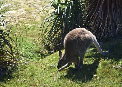 Bennets Wallaby 2 (2)