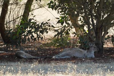 Kangaroos resting 2