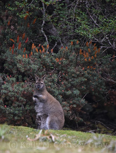 bennets wallaby 3