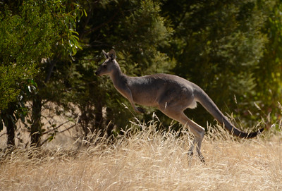 kangaroo jumps 2